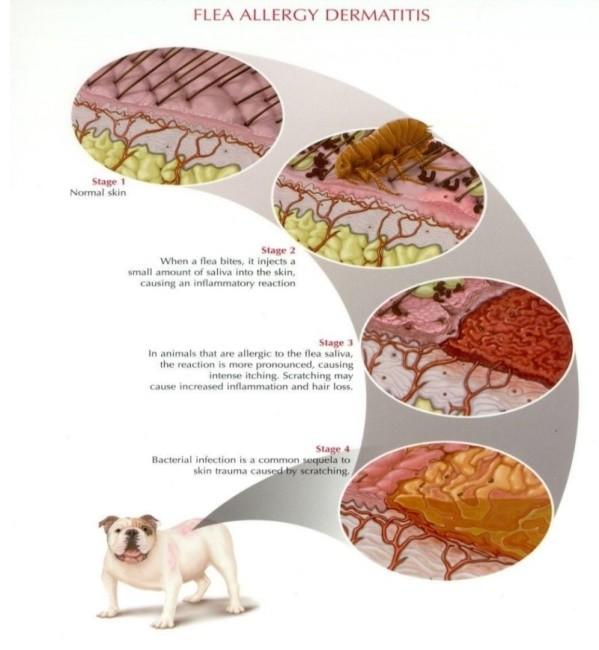 Sumber: Pfizer Atlas of Veterinary Clinical Parasitology